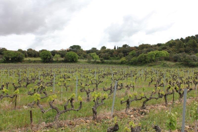 Vigneto Villeneuve-lès-Avignon